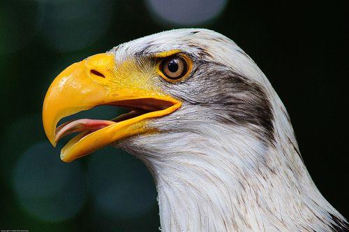 Bald Eagle Portrait by Malte Sörensen